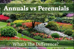 Difference-Between-Annual-And-Perennial-Plants