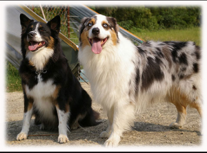 Difference between Border Collie and Australian Shepherd