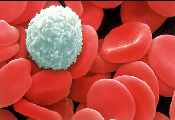 red blood cells and white blood cells
