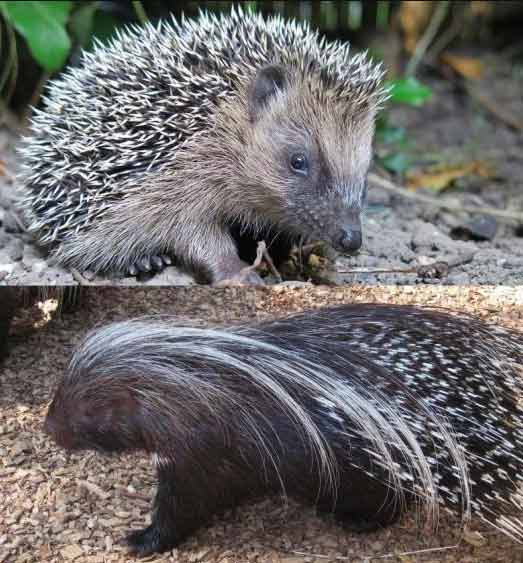 Difference-between-Hedgehog-and-Purcopine