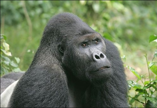 Difference between Ape and Gorilla