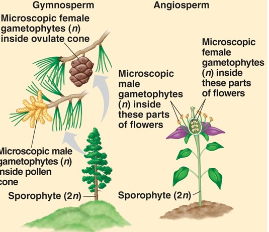 Difference between Gymnosperm and Angiosperm