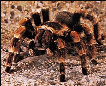 Difference between Spider and Tarantula