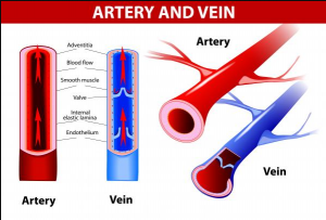 Difference between Veins and Arteries
