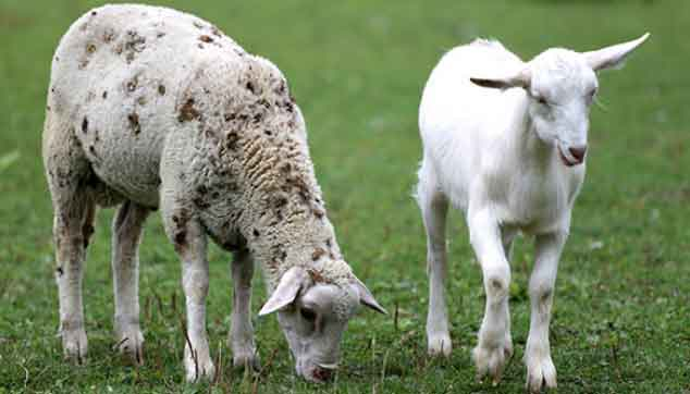 Difference-between-Sheep-and-Goat