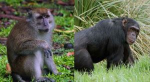 Difference-between-Apes-and-Monkey