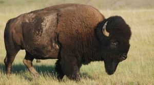 Difference-between-buffalo-and-Bison
